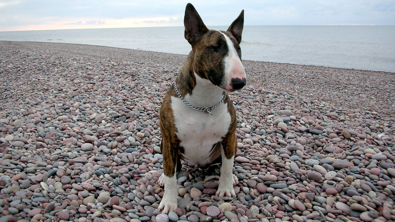 Bull terrier: Ένας γενναίος Άγγλος