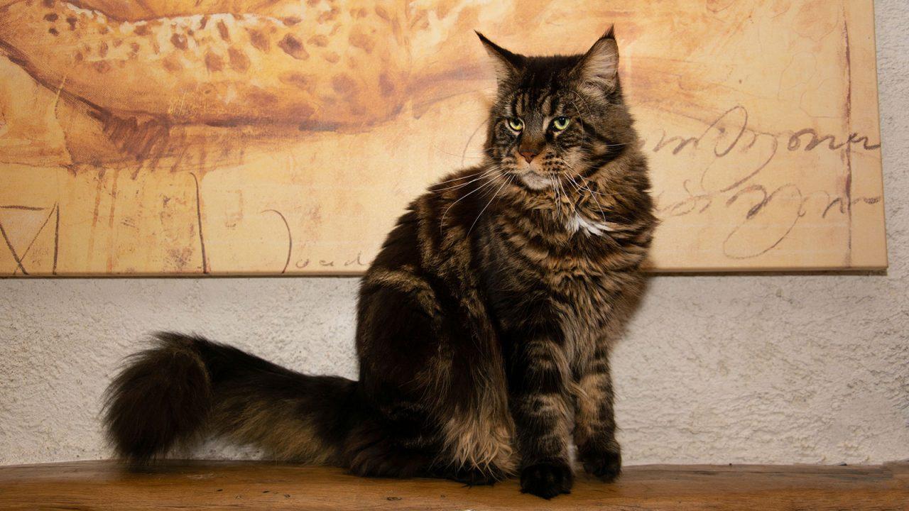 Γάτα Μέιν Κουν: Ο καλοκάγαθος γίγαντας