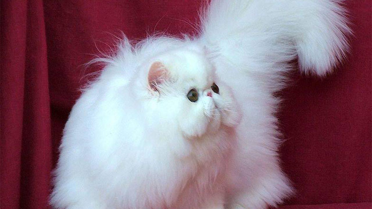 Η αριστοκράτισσα γάτα Περσίας