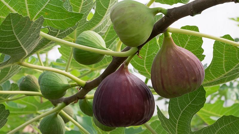 Το «βασιλικό» φρούτο που ρίχνει την αρτηριακή πίεση