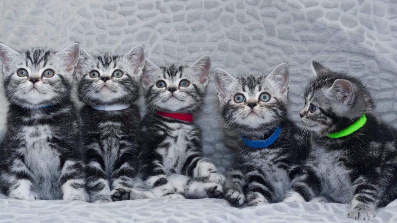 Η γάτα που αποκαλείται Ουΐνστον Τσόρτσιλτων γατών