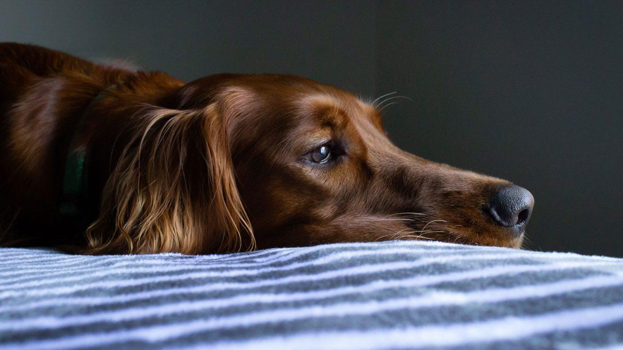 Ένοχο βλέμμα: Αποδεικνύει ότι ο σκύλος νιώθει ενοχές ή μήπως όχι;