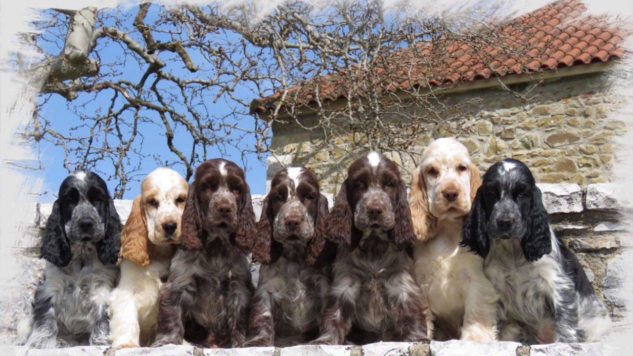 Αγγλικός Κόκερ Σπάνιελ:Οαγαπησιάρης σκύλος που σεκυριεύειμε το βλέμμα του