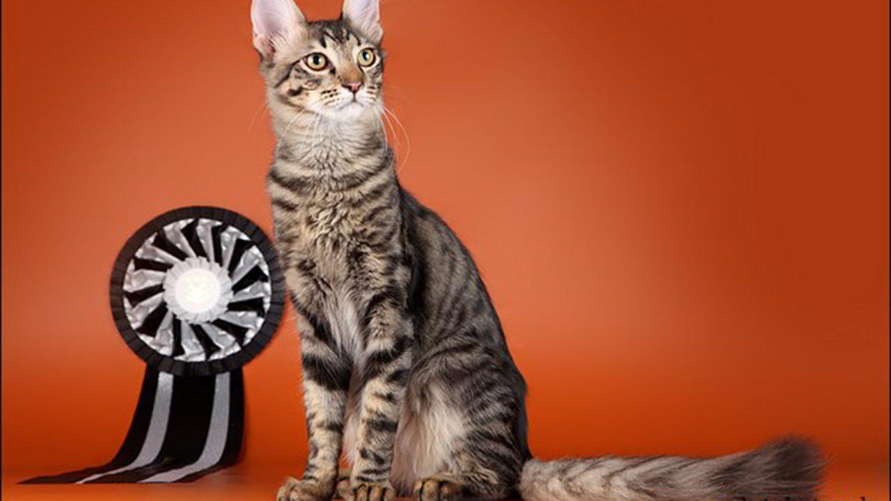 Γάτα Αγκύρας: Παιχνιδιάρα και τρυφερή, ιδανική για παιδιά και ηλικιωμένους