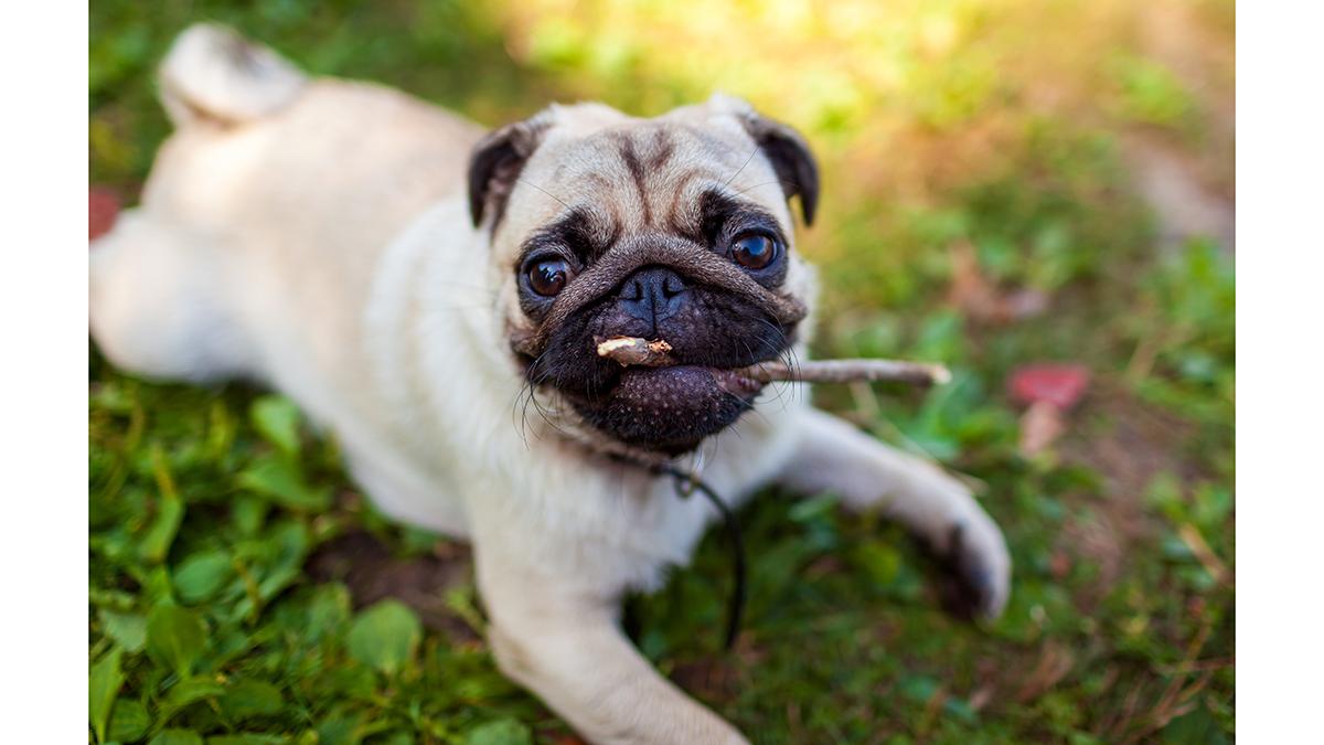 Σκύλος: Γιατί τρώει ό,τι βρίσκει στο έδαφος; – Πως να το ελέγξετε