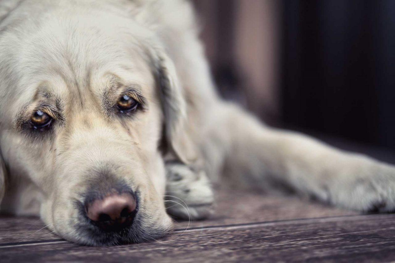 Άνοια: Απειλεί και τους ηλικιωμένους σκύλους – Πώς να επιβραδύνετε τη νόσο