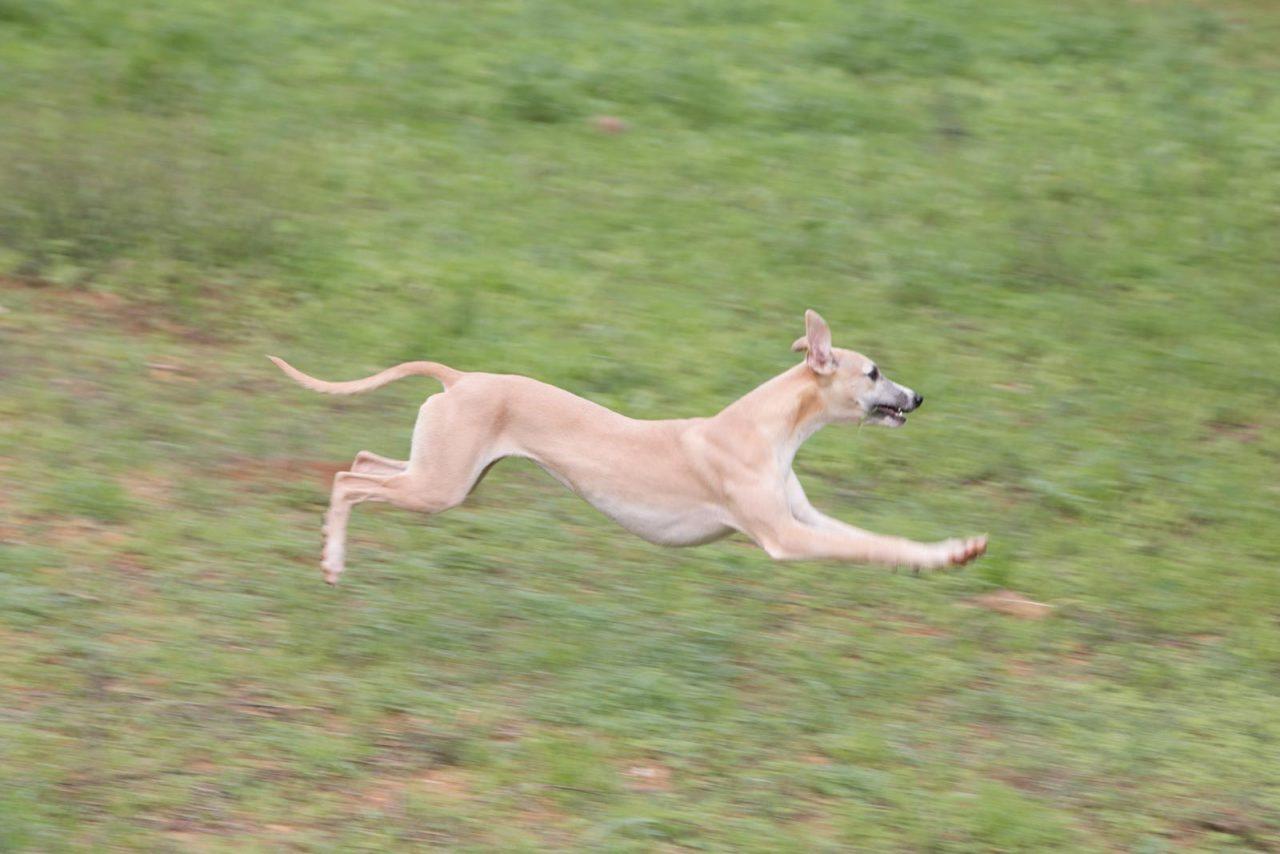 Ουίπετ: Ο παιχνιδιάρης και ευγενικός σκύλος που ταιριάζει σε κάθε οικογένεια