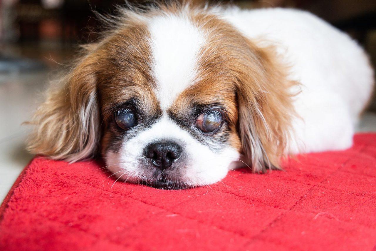 Πώς φροντίζουμε τον σκύλο που έχει χάσει την όρασή του