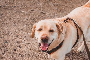 Περιλαίμιο ή σαμαράκι: Ποια είναι η καλύτερη επιλογή για τη βόλτα του σκύλου