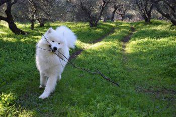 Σκύλος Samoyed: Πεισματάρης με χρυσή καρδιά – Ιδανικός για παιδιά