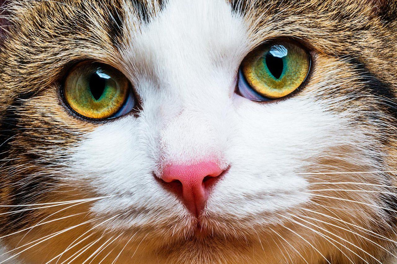 Στείρωση γάτας: Τι να τρώει η ψιψίνα για να μην παχύνει