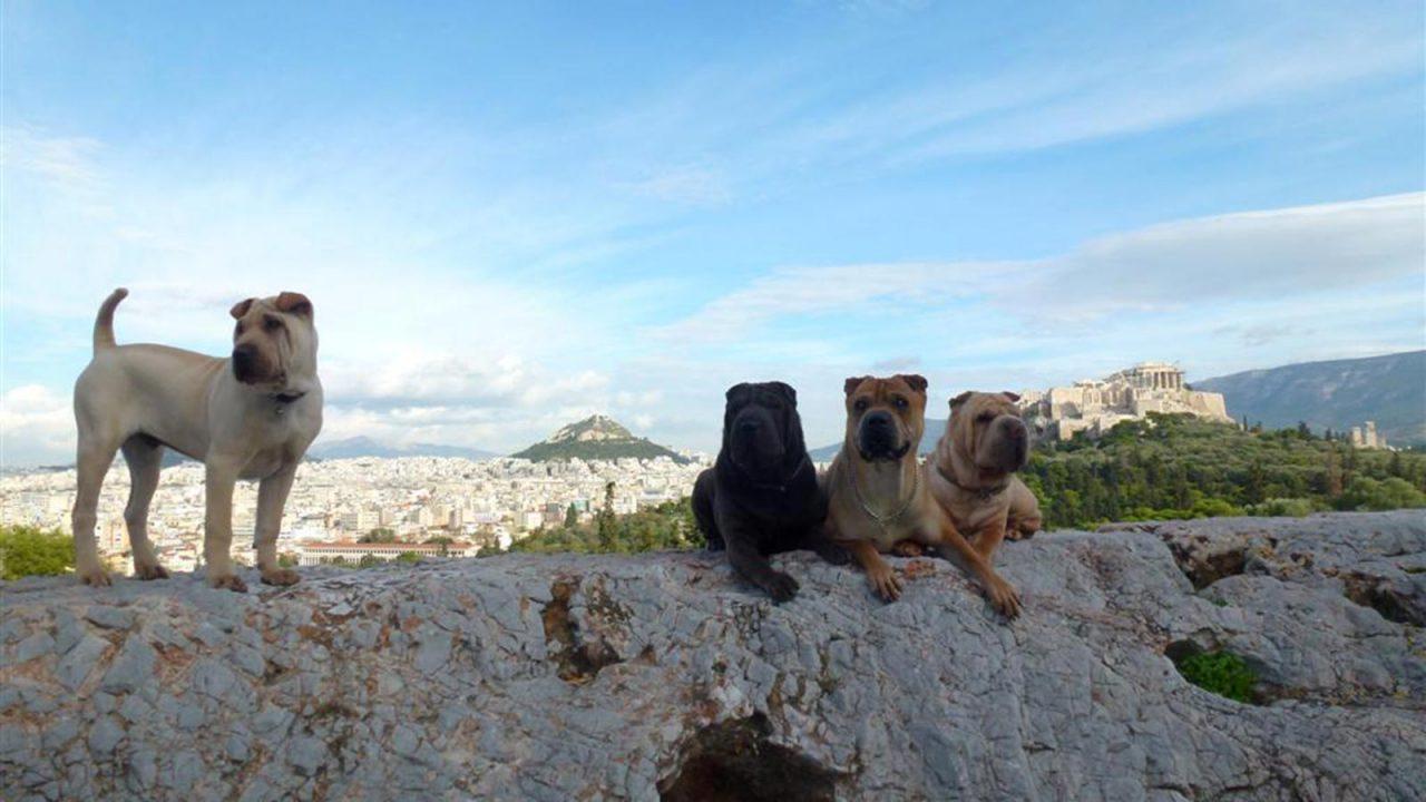 Σκύλος Σαρ Πέι: Γεννημένος κυνηγός και υπερήφανος φύλακας