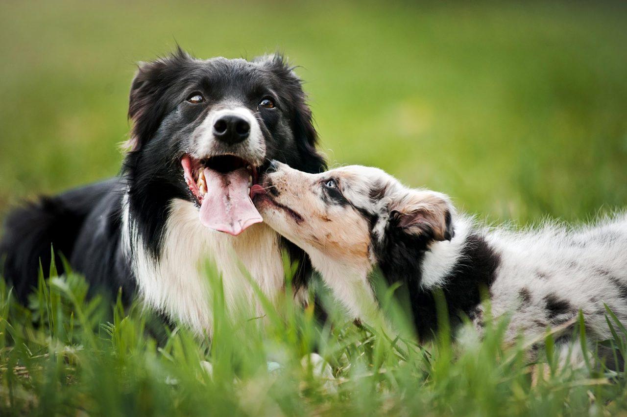 Θα πάρετε δεύτερο σκύλο; Επτά πράγματα που πρέπει να σκεφτείτε πριν το κάνετε