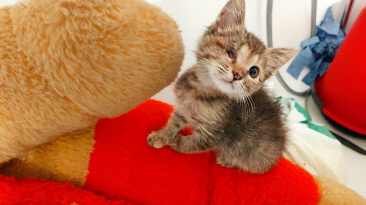 Μυρτώ: Το γατάκι που γλίτωσε από τις ρόδες αυτοκινήτου αναζητά σπίτι